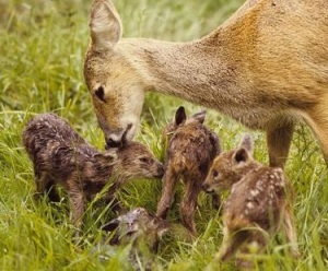 Chinese water deer with four fawns