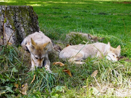 Wolf Pups Snoozing
