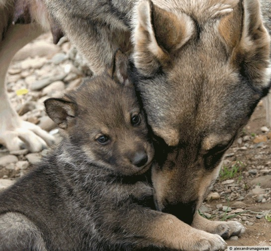 Wolf with pup
