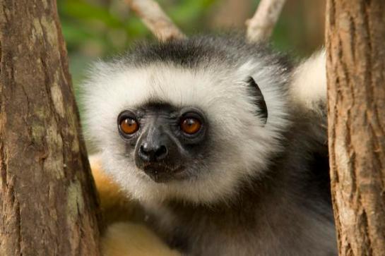 Sifaka. Lemur Island; Andasibe