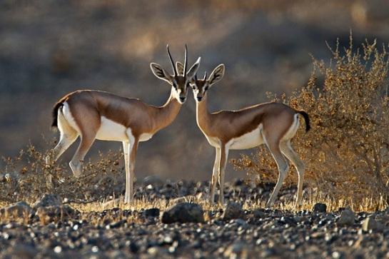 Dorcas gazelle in the desert