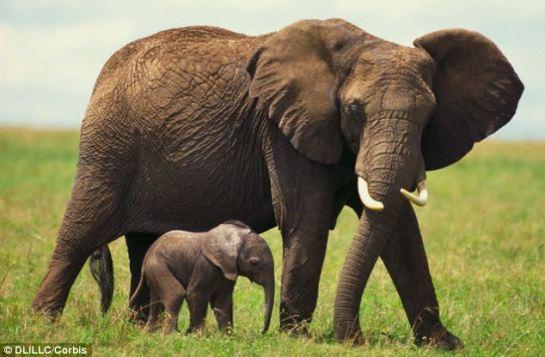 elephant_intelligence_africa0
