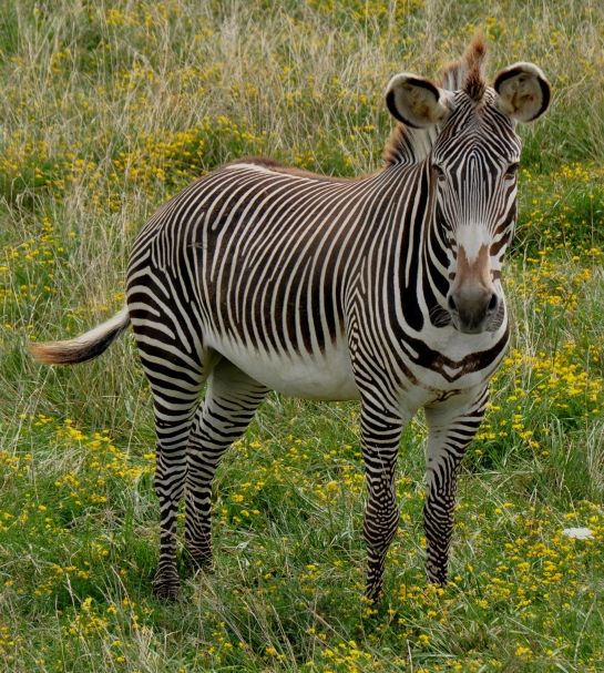 Grevy's zebra