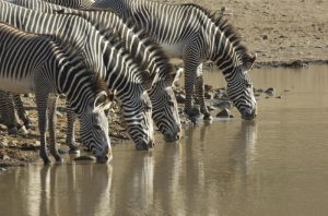 Grevy's zebra at the watering hole