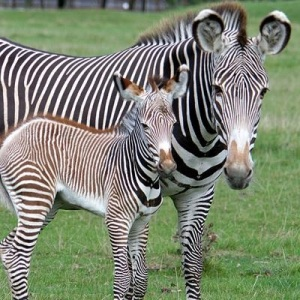 Grevy's zebra foal at Whipsnade Zoo