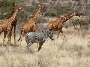 Grevy's zebra running with giraffe