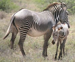 Grevy's zebra and foal