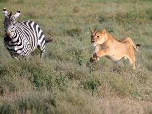 Lioness chasing Hartmann's zebra