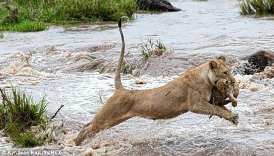 lioness_cub