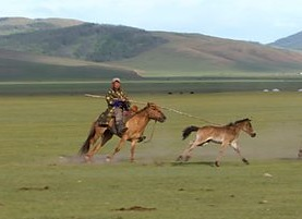Mongolian tribesman on horseback catching foal