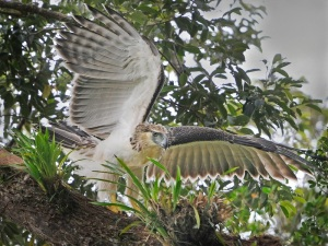 Philippine juvenile eagle leaving the nest by Mark Wilson