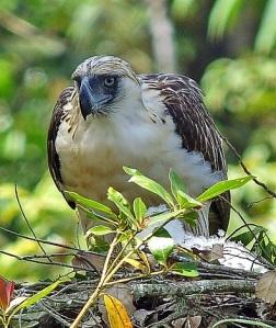 Phillippine Eagle by Nigel Voaden