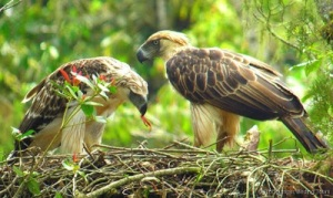Phillippine eagles on nest