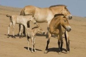Przewalski horse family