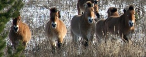 Przewalski horse population in the exclusion zone of the Chernobyl power plant