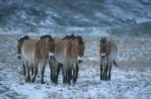 Przewalski horses in the snow by Dr Petra Kaczensky