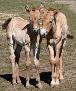 Przewalski's Horse by John Kuk
