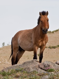 Przewalski's Horse - Hustai National Park - Author Chinneeb wiki