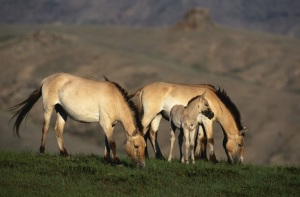 Przewalski's horses with foal