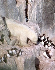 A lone polar bear targeting thick-billed murres and their eggs