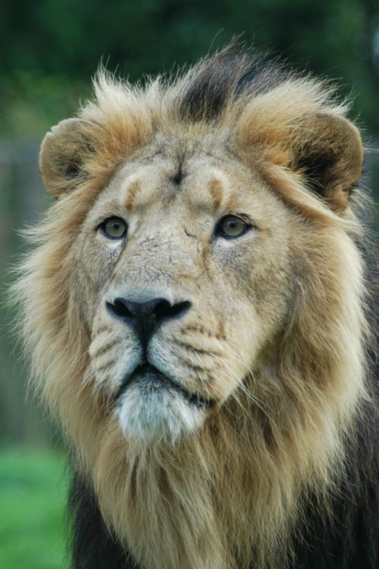 Asiatic lion in Gir Forest via Pinterest