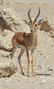 Dorcas gazelle Al Wabra Wildlife Preservation