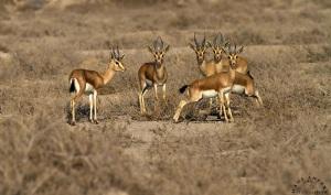 Dorcas gazelle herd