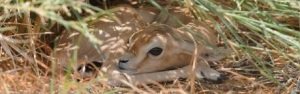 Dorcas gazelle - newborn hiding in the shade
