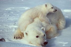 Polar bear 11