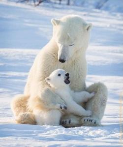 Polar bear 7