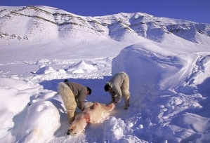 Polar bear hunting via the Independent