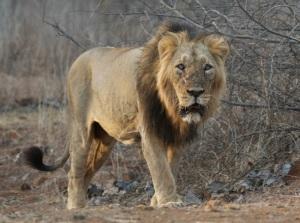 Wild Asiatic lion by Falguna Shah