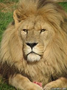 Asiatic lion - panthera leo