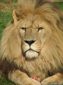 Asiatic lion - panthera leo