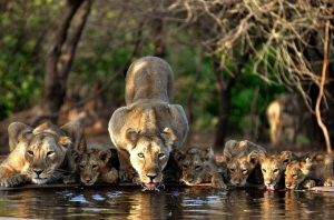 Pride of Asiatic lions at one of the many open-pit wells in Gir Forest via National Geographic