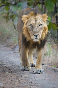 Young male in Gir Forest by Sumeet Moghe